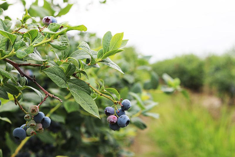 Where to go Berry Picking in Vancouver