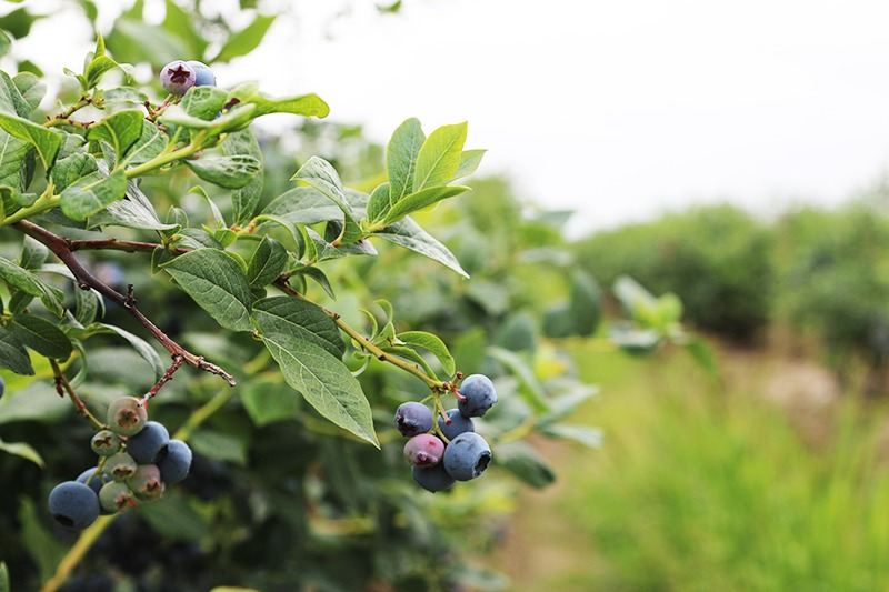 Where to go Berry Picking