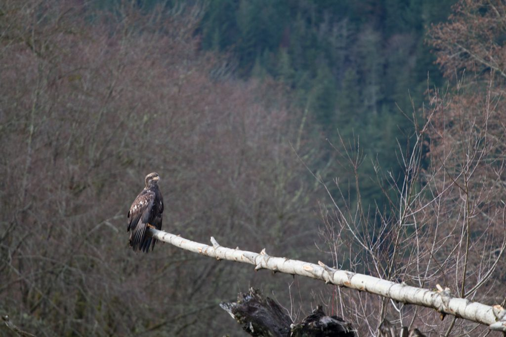 Young eagle. Squamish Eagle Viewing Raft Tour
