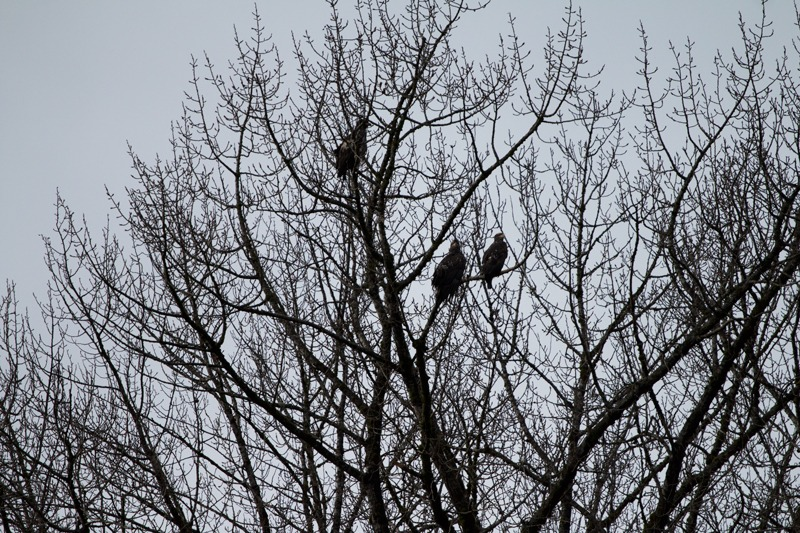 Young eagles - Squamish Eagle Watching