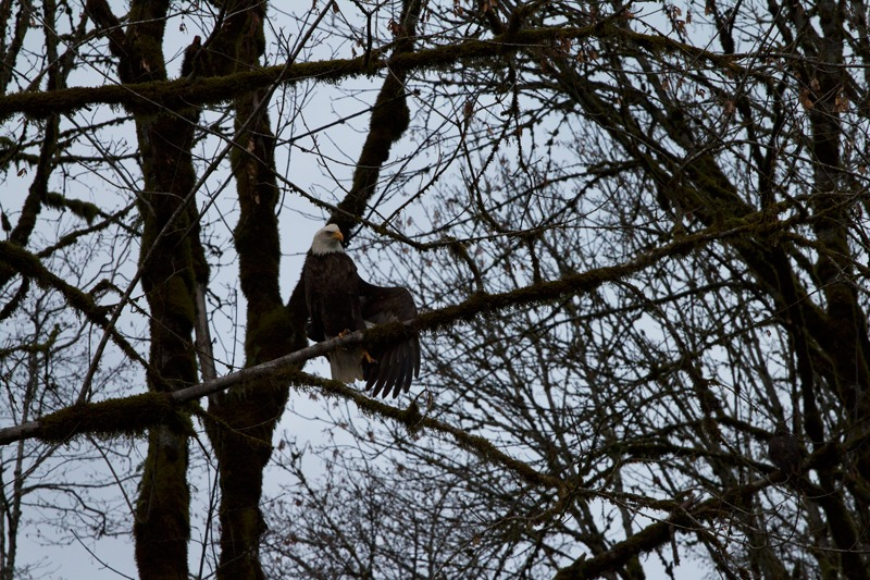 Squamish Eagle Viewing Float - Bald Eagle in a tree in Squamish, British Columbia.